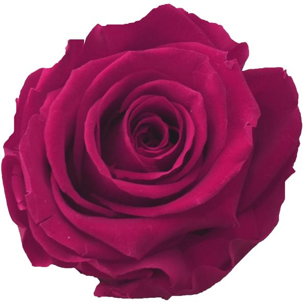 Rosen der Farbe rasberry