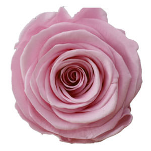 Rosen der Farbe mauve