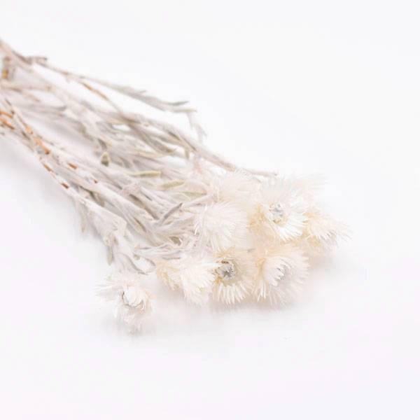 Love_dried_flowers_Trockenblumen_getrocknete_Blumen_Capblume_weiss_5_stiele.jpg