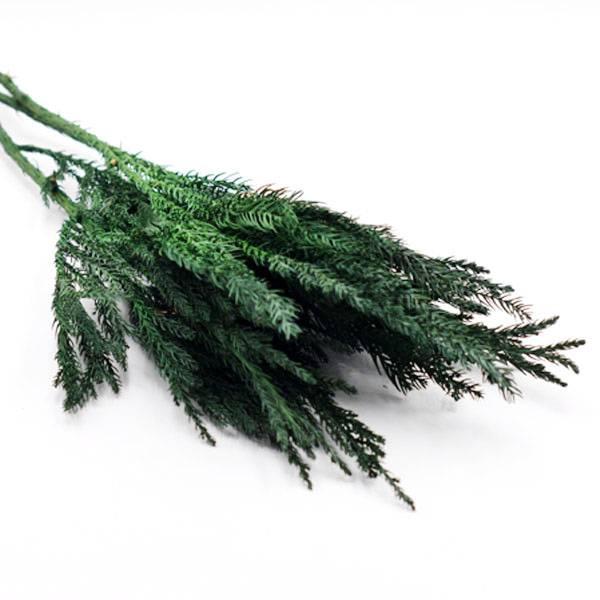 Trockenblumen Sicheltanne kaufen stabilisiert | Grün | 3 Stiele