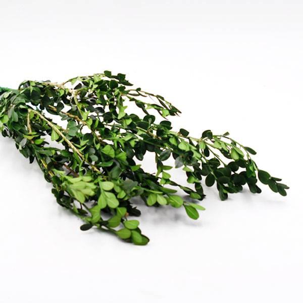 Trockenblumen Buchs kaufen stabilisiert   Grün   3 Stiele