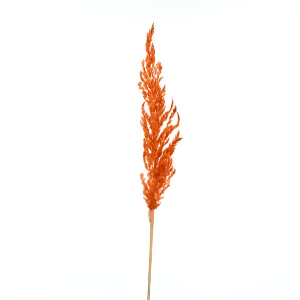 Trockenblumen Eryanthus amber, 1 Stiel