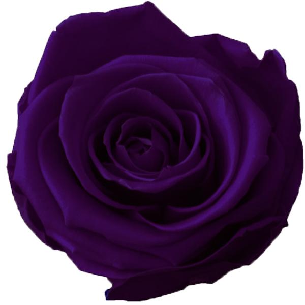 Rosen der Farbe lilac