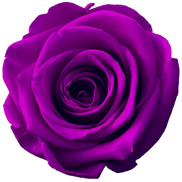 Rosen der Farbe purpur
