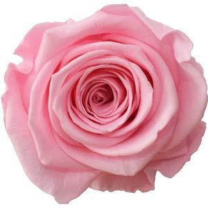 Rosa hell (Bridal Pink)
